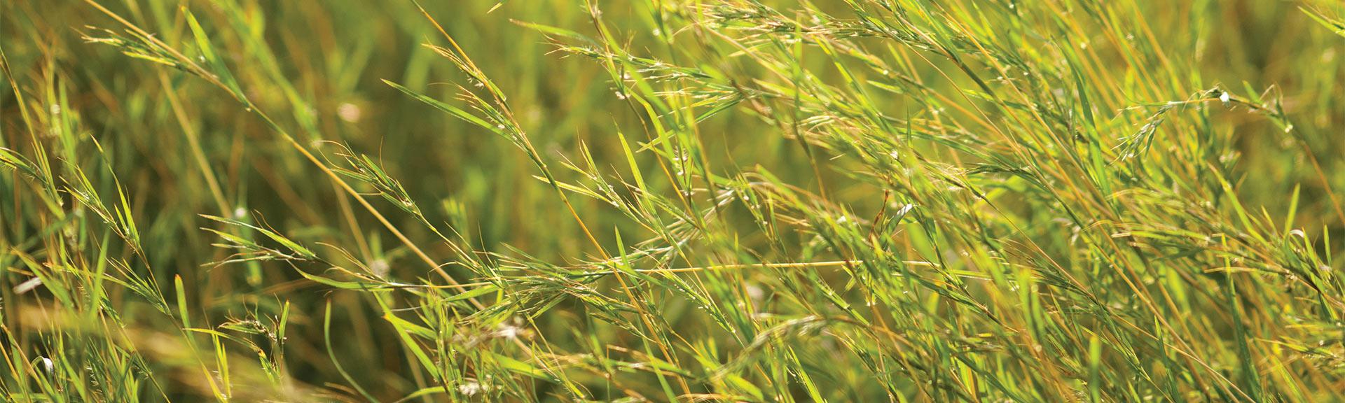 Plateau® Herbicide Control Roadside Grasses | BASF Vegetation